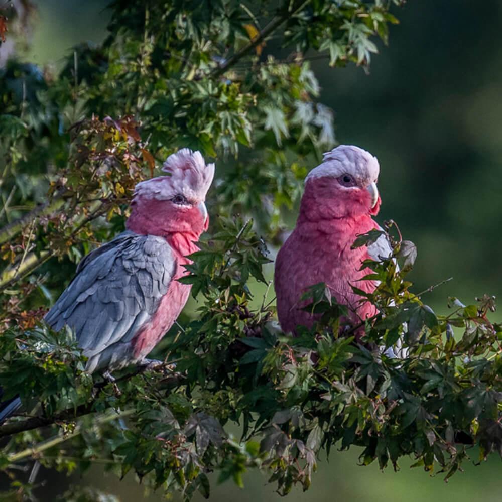 beechmont-la-dolce-vita-b&b-birdlife